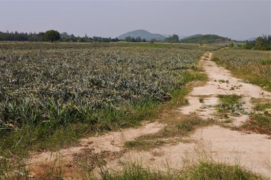 Pineapple field.