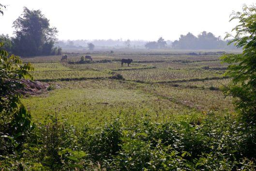 Cows on fields.